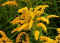 goldenrod dye extract, a yellow natural dye